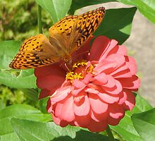 Butterfly on Zinnia by Danielle Kerese