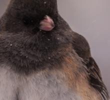 Dark-Eyed Junco in the snow Sticker