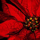 Poinsettia Blossom by Jan Cervinka