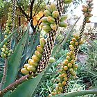 Aloe ferox seeds by Maree  Clarkson