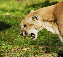 Florida Panther Growl by Terry Best