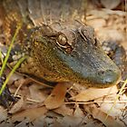 baby alligator by Claude Desrochers