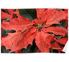 Poinsettia ~ Sprinkled with Glitter Poster