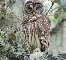 BARRED OWL by Claude Desrochers