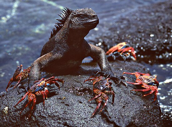 Marine Iguana and Sally Lighfoot Crabs by Doug Thost