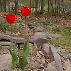 Red tulips in Pennsylvania Dutch country by vikinggirl