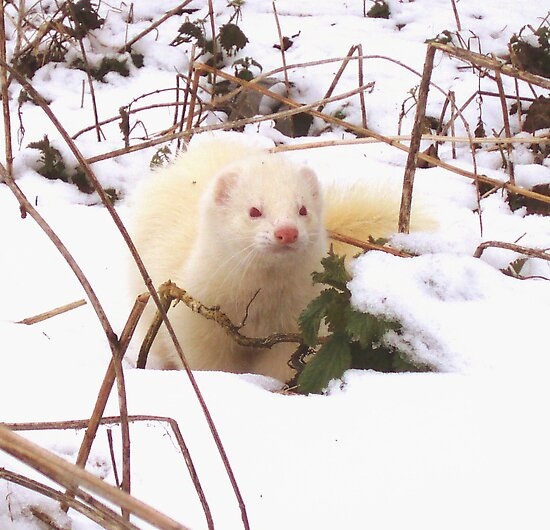 Frosty Ferret by James Stevens