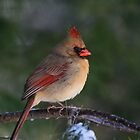 Female Cardinal by Jim Davis