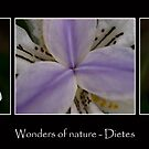 Wonders of Nature - Dietes by Ben Shaw