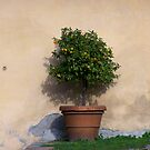 Orange tree by CiaoBella