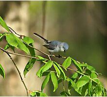 Blue-gray Gnatcatcher Photographic Print