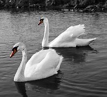 Mute Swans by eddytkirk