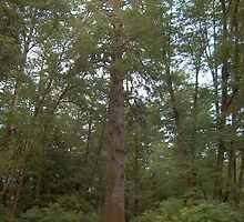 Tallest Sitka Spruce Tree by Fred Seghetti