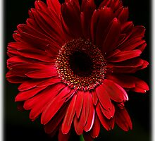 Dark Red Gerber Daisy by Swede