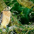 Falcon  by Taylor Jury