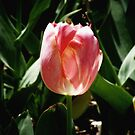 sunkissed tulip by © Joe  Beasley IPA