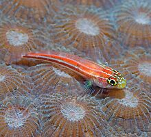 Goby by Stephen Colquitt