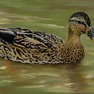 Mallard Hen I 2007 Duck Series by John Houle