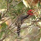 Wattle Bird.  Royal National Park, Sydney, NSW by Mandy Gwan