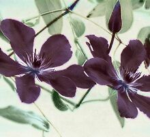 Christmas Clematis by vigor