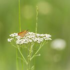 Skipper Butterfly On White by Thomas Young