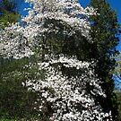 Flourishing Magnolias by MarianBendeth