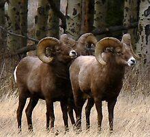 Big Horn Sheep Rams #1 by Tony L. Callahan