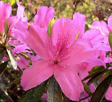 Azalea 1 by William Helms