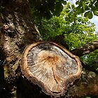 the old chestnut tree by jlukyn