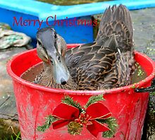 All I Want For Christmas - Rescued Duck - NZ by AndreaEL