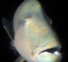 Humphead maori wrasse by David Wachenfeld