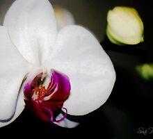 Phalaenopsis by Suni Pruett