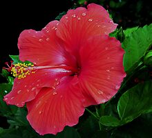 Shiney Red Hibiscus by Swede