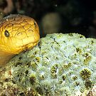 Olive sea snake by David Wachenfeld