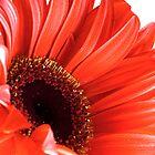 red gerbera closeup by Martin Pot