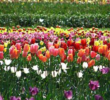 Tulips Field by ~ Fir Mamat ~