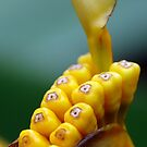Yellow Seeds in a Pod  by ~ Fir Mamat ~
