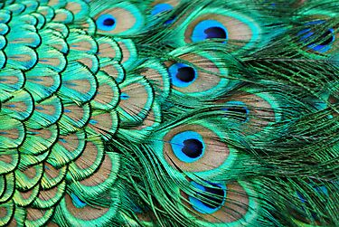 Feathers of a Peacock by SpraggonPhotography