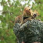 A couple of Leopard by Ismail Basymeleh