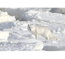 White on White. Arctic Fox #1, on the Tundra, Hudson Bay, Canada Photographic Print