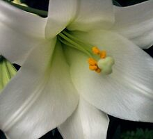 White Lily by rmarie6822