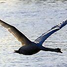 Swan In Flight........ by lynn carter