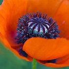 Poppy 5 by Rebecca Cozart