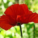 Poppy 4 by Rebecca Cozart