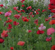 Warm Backyard Poppies by echoexpression