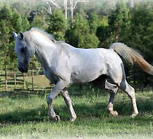 Grey Arab Stallion by Danielle Espin