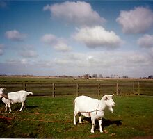 Two Cute White Goats in Netherlands by NatashaHartling