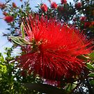 Bottlebrush in the garden by simonescott