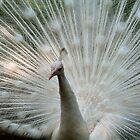 White Peacock by Matt Ferrell