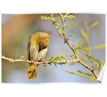 Yellow Masked Weaver - Taking a Rest Poster